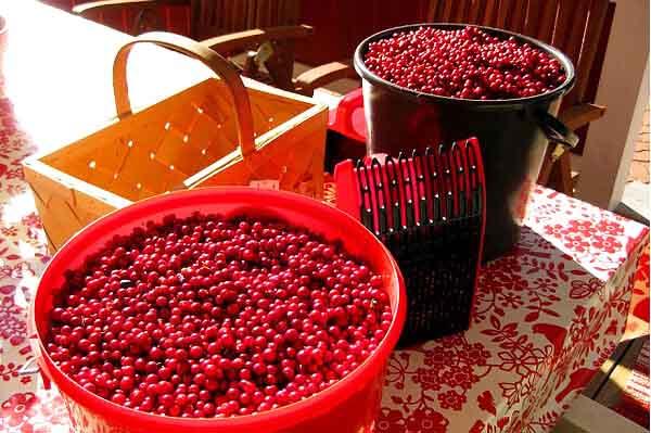 Бережное обращение с ягодами